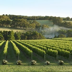 mist in the vines